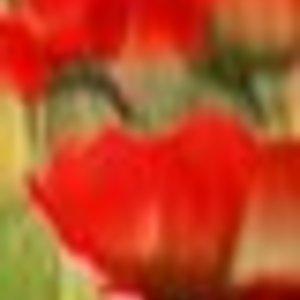 Tulipe de mai